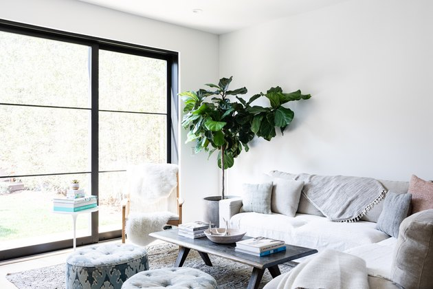 Fiddle-Leaf Tree plant in modern boho living room