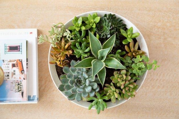 soins succulents