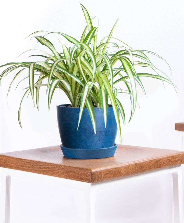 Bloomscape Spider Plant