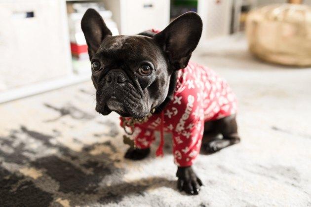 CC Boom's French bulldog, Piggy Smallz