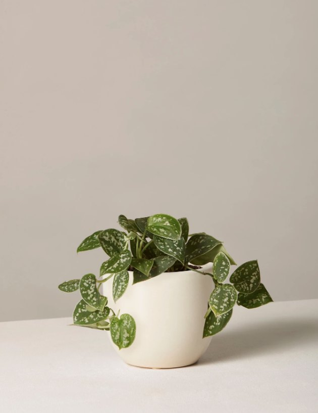 the sill silver philodendron