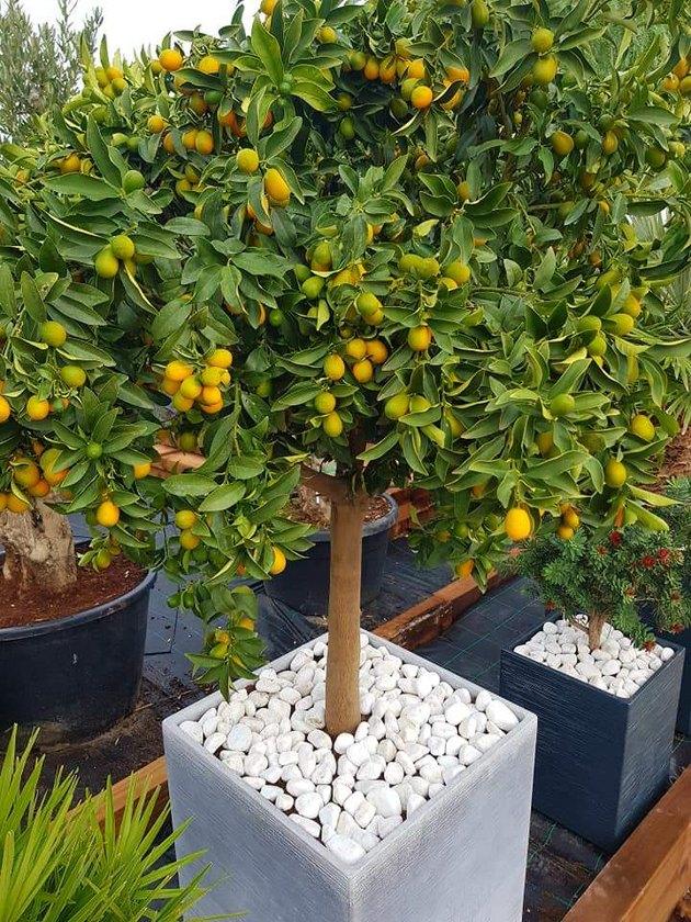 Kumquat tree in pot.