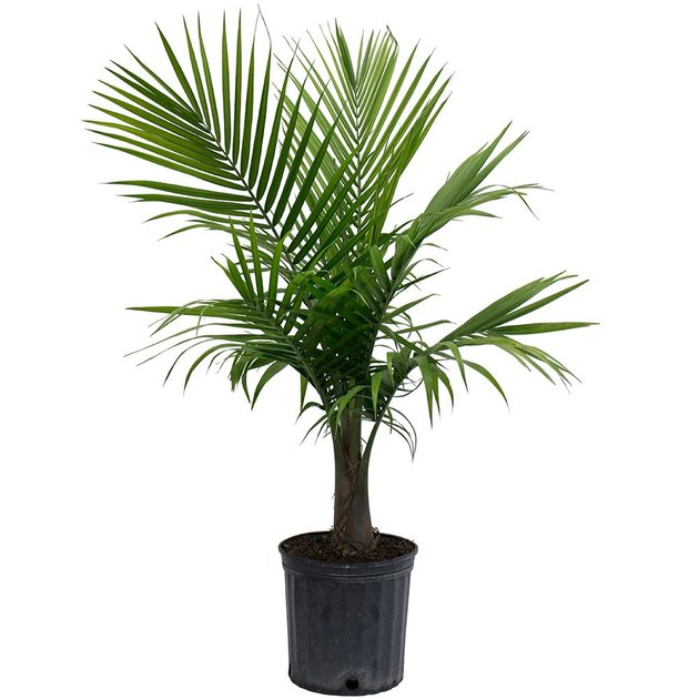 home depot palm plant