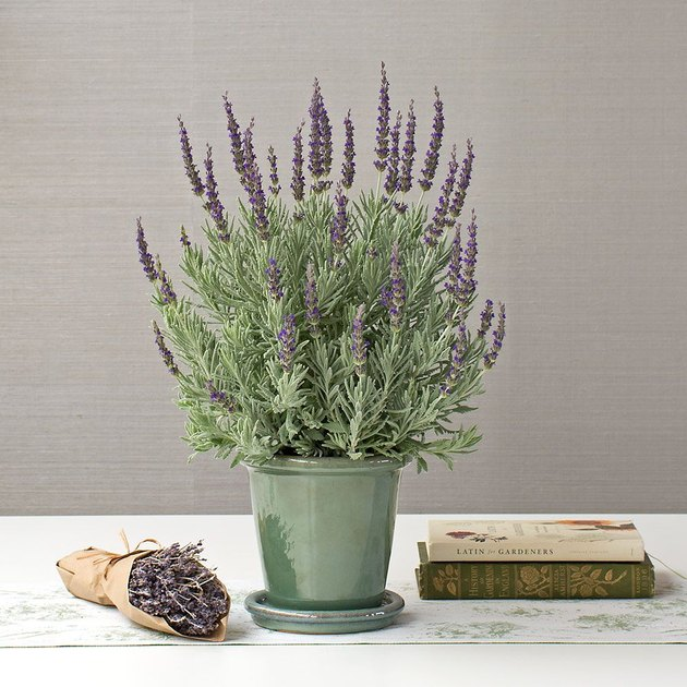 Lavender plant in green pot