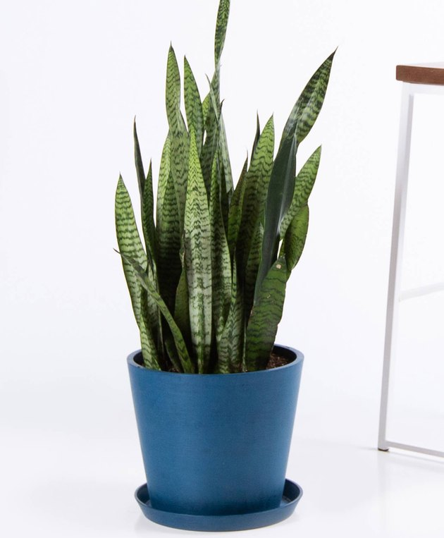 Bloomscape Snake Plant in blue pot