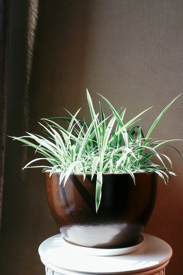 Plante araignée