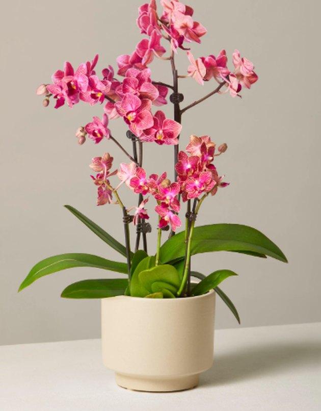 fuschia orchid in cream planter