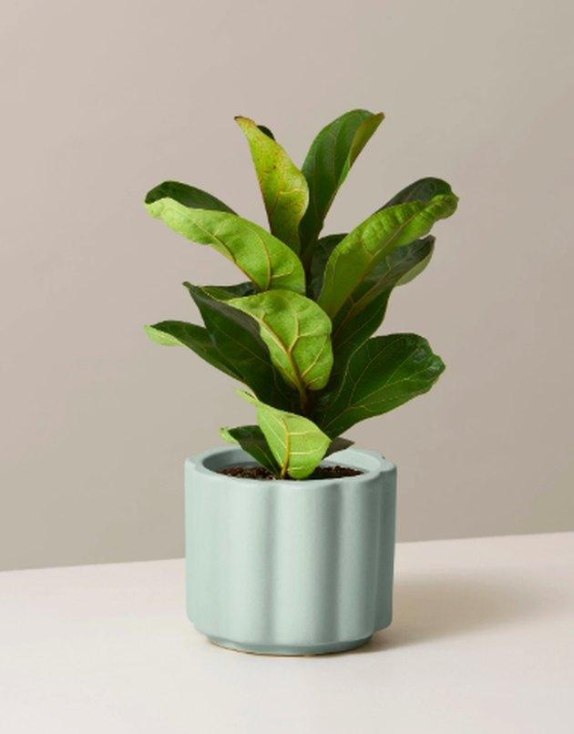 fiddle leaf fig in mint planter