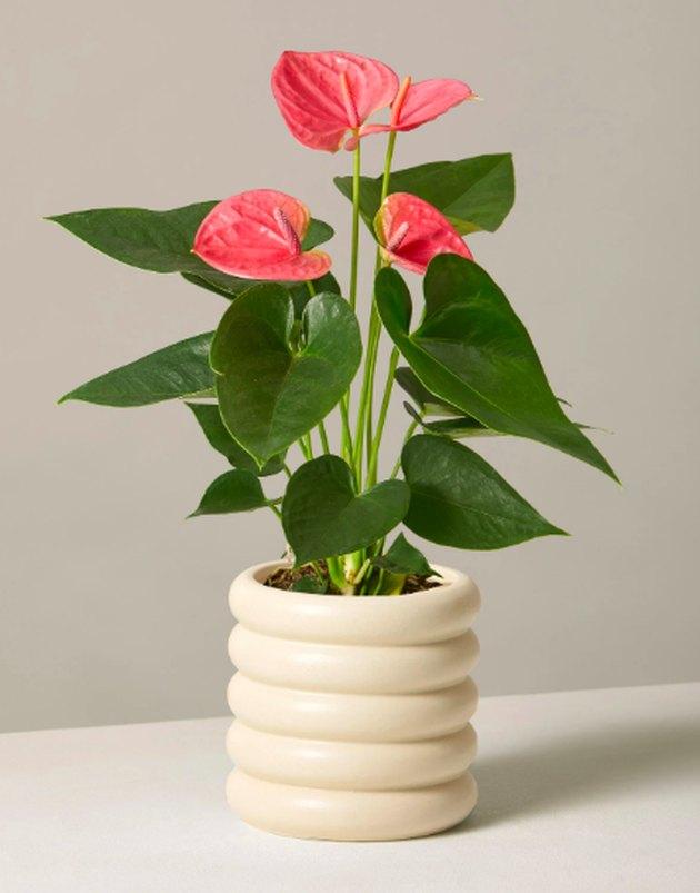 pink anthurium in cream planter