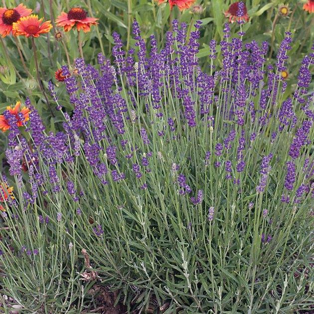 English lavender.