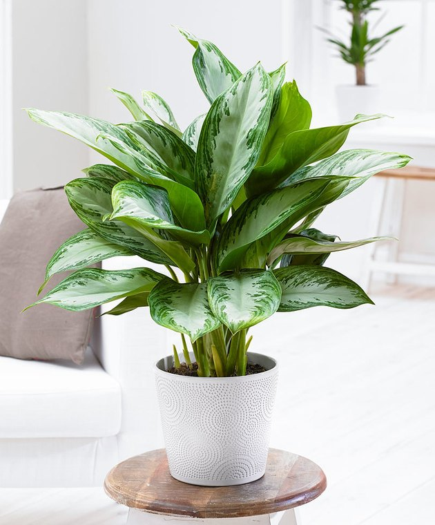 Chinese evergreen (Aglaonema commutatum)