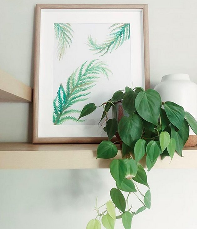 Heart-leaf philodendron (Philodendron hederaceum)