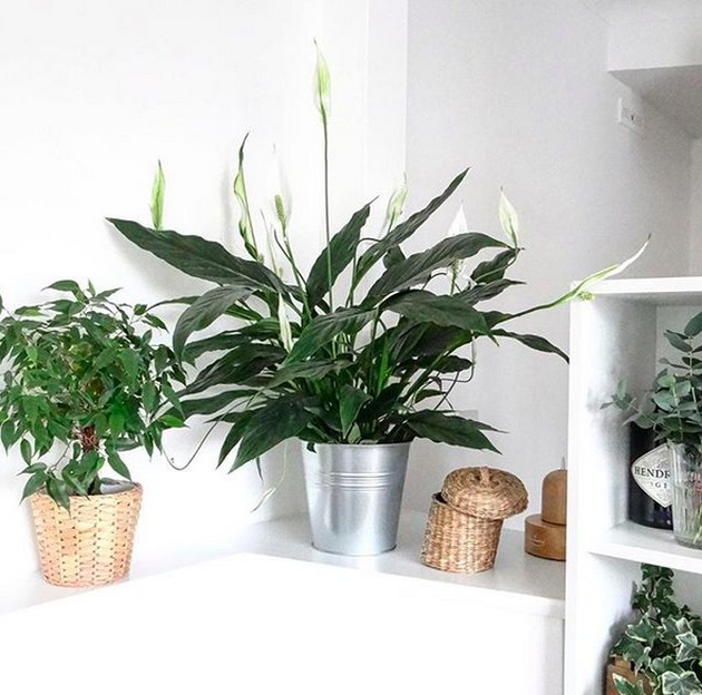 peace lily (Spathiphyllum wallisii)