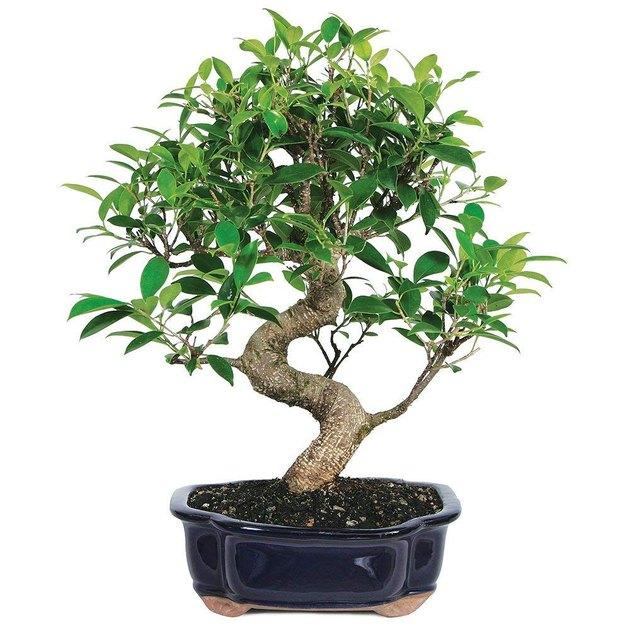amazon bonsai tree