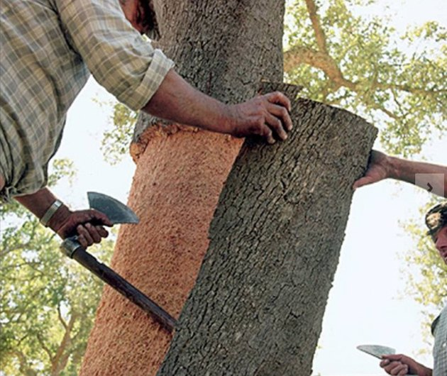 Cork being harvested from tree.