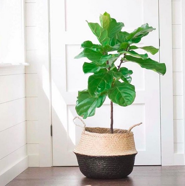 How to Care for a Fiddleleaf Fig Tree