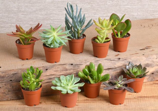 Miniature succulents