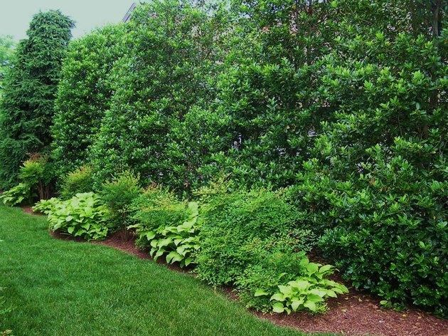 Holly fence
