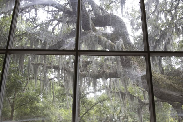 Window looking out to old oak trees covered in Spanish moss