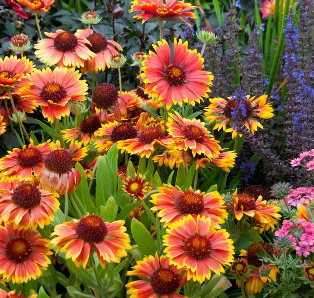 Gaillardia flowers.