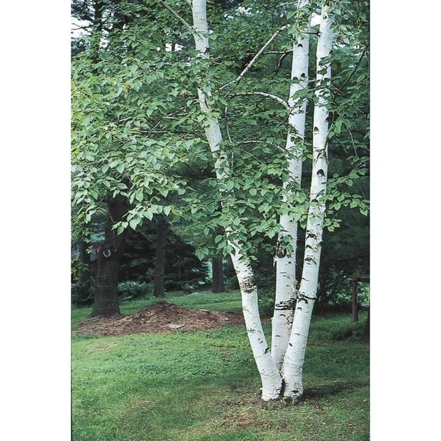 Paper birch tree.