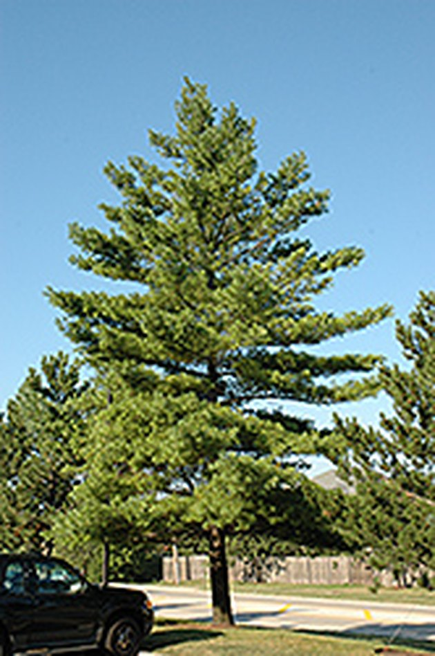 Mature white pine tree.