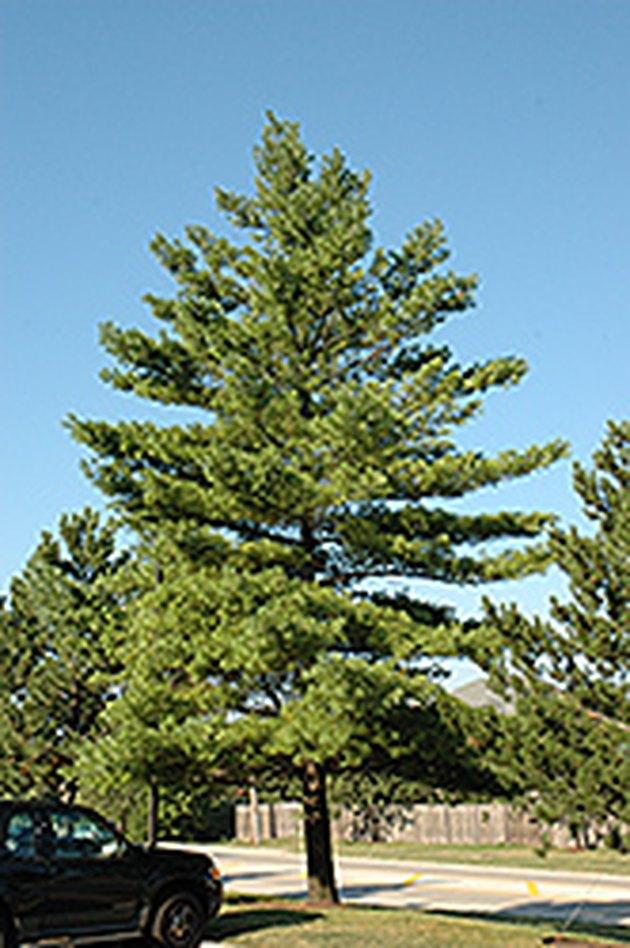 Mature white pine tree.