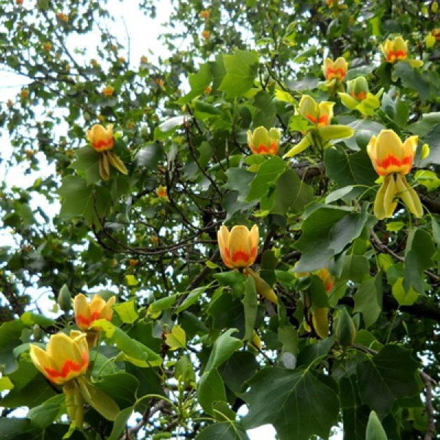 Tulip tree flowers.