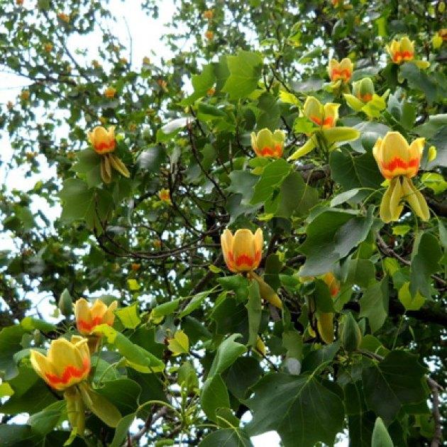 Tulip tree flowers.