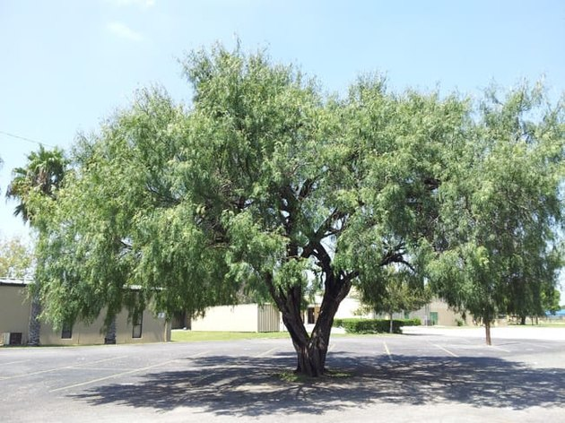 Honey mesquite tree.