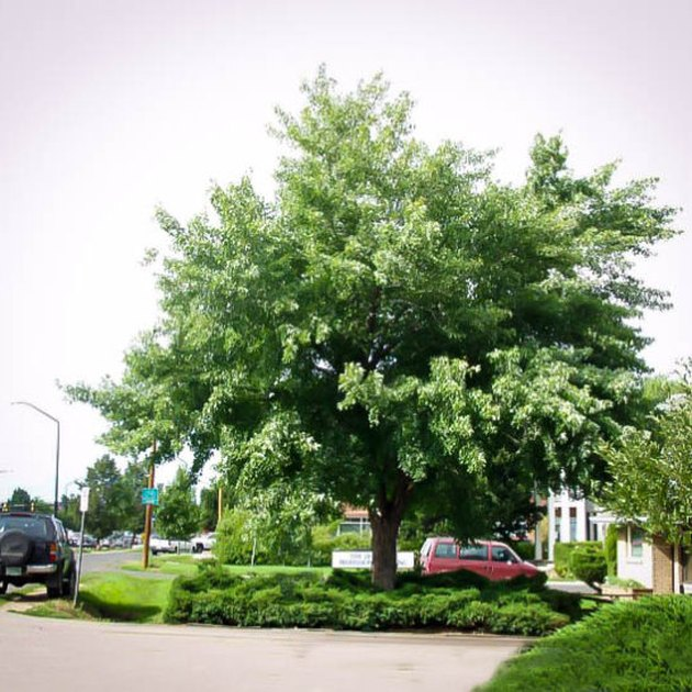 Silver maple tree.