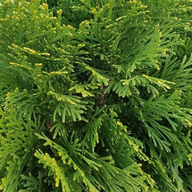 Green arborvitae foliage.