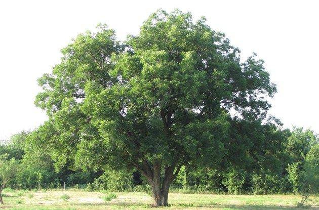 Mature pecan tree.
