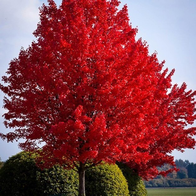 Red maple tree.
