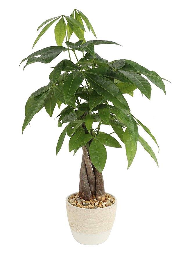 costa farms money tree
