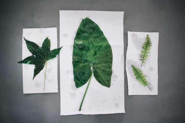 Leaves drying on paper towels