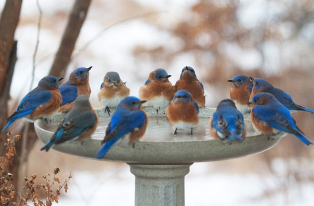Bluebirds birdbath winter.
