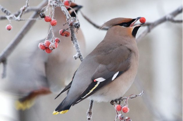 waxwing in winter