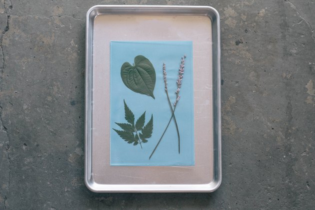 Two leaves and two long flower stems arranged on sun print paper and secured with acrylic sheet atop a baking tray