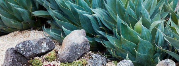 Bed of agave.