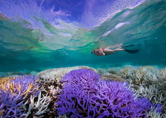 bright purple coral reef with snorkeler