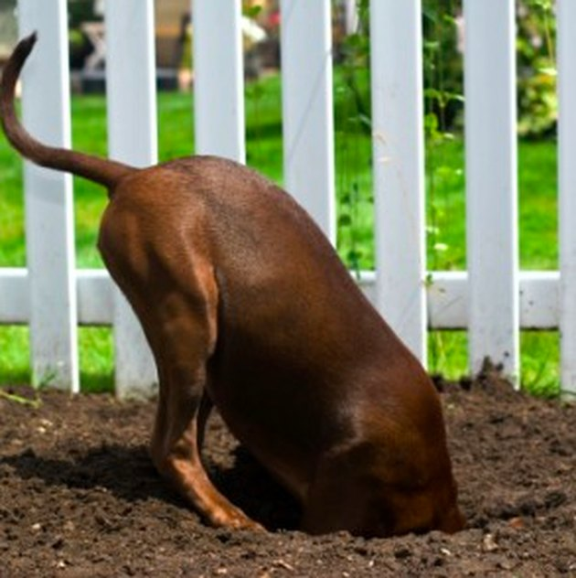 Dog digging a hole.
