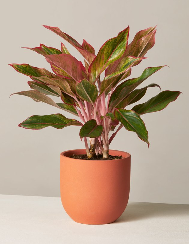 The Sill Red Aglaonema plant