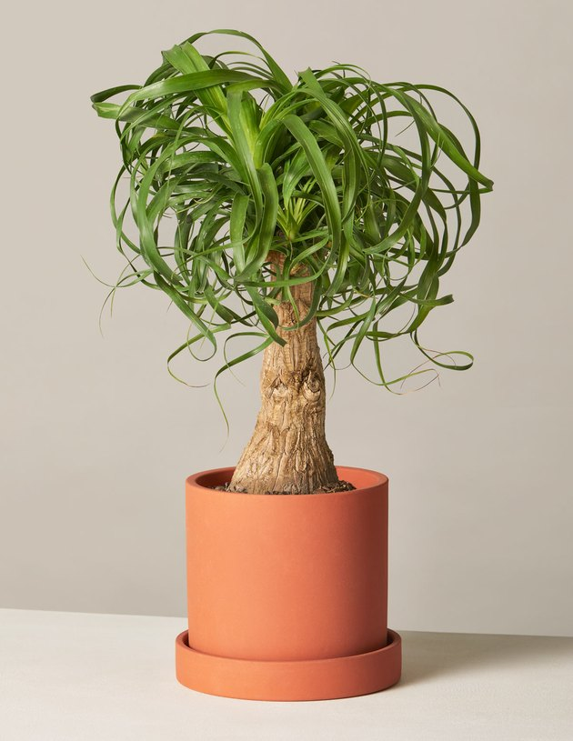 The Sill Ponytail Palm plant