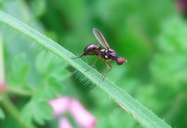 Beneficial Insects for Vegetable Gardens: Minute Black Scavenger Fly