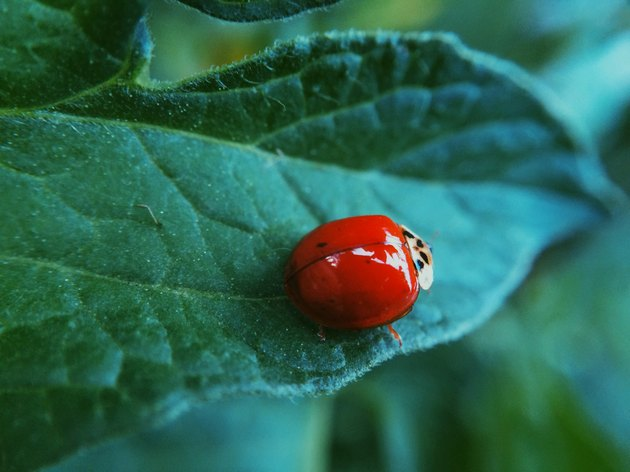 Beneficial Insects for Vegetable Gardens: Ladybugs
