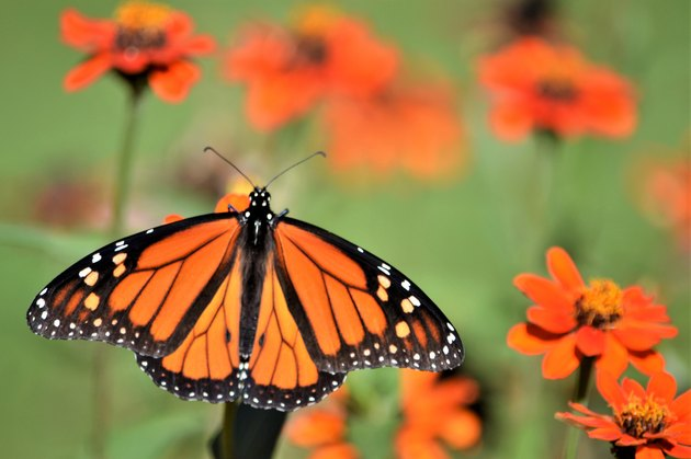 Beneficial Insects for Flowers: Butterfly