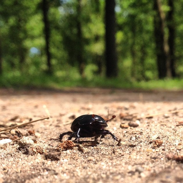 Beneficial Insects for Vegetable Gardens: Ground Beetle