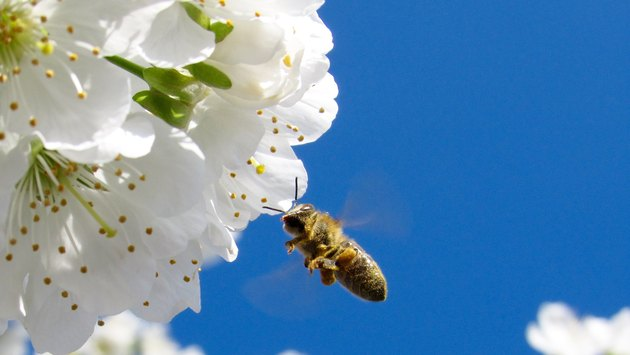 Beneficial Insects for Flowers: Hover Fly