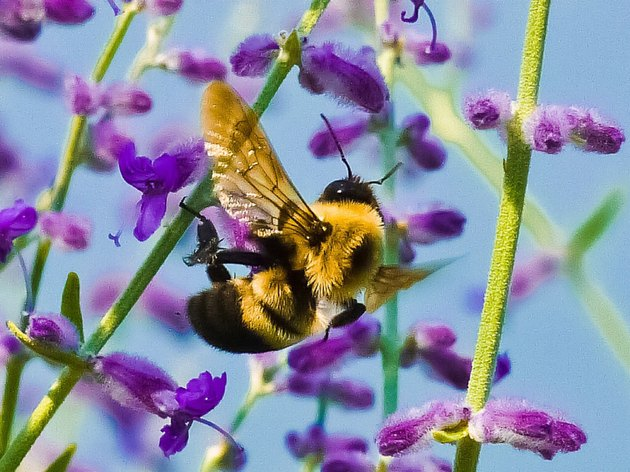 Beneficial Insects for Flowers: Bumble Bee